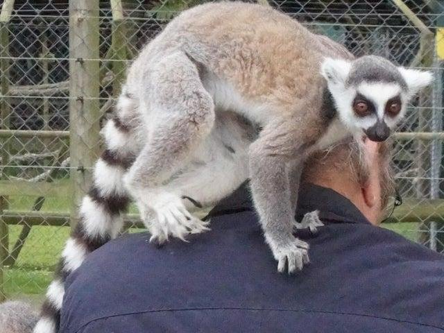 Lemurs are one of the wild animals owned by many UK residents