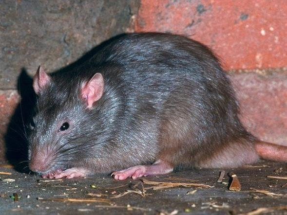 A carer saw a rat jump off the man's bed
