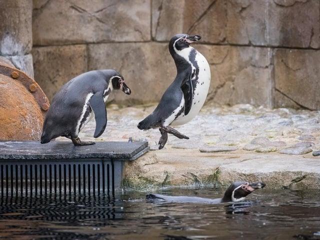 The penguins enjoying their new area