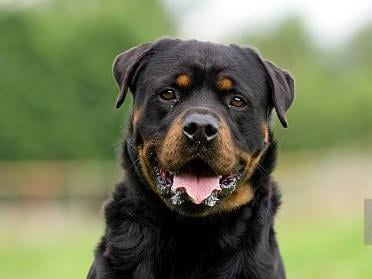 Rottweiler. Photo: Getty Images
