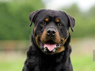 Police have been hunting the Rottweilers