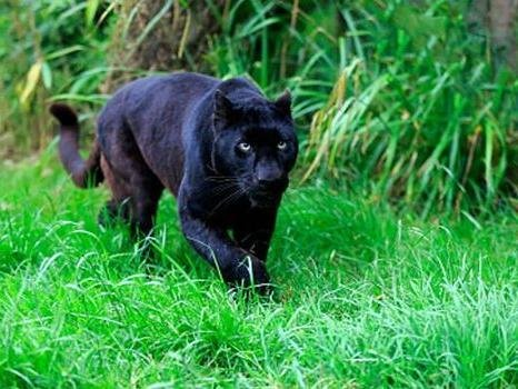 The creature resembled a panther