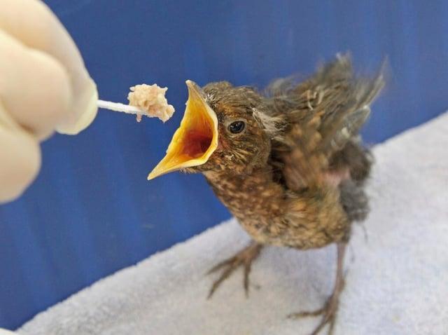A blackbird fledgling