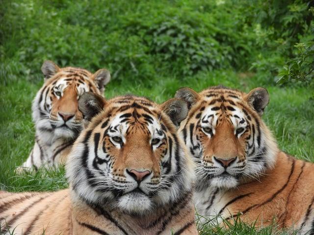 Makari Czar and Dmitri at ZSL Whipsnade Zoo on May 12, 2020