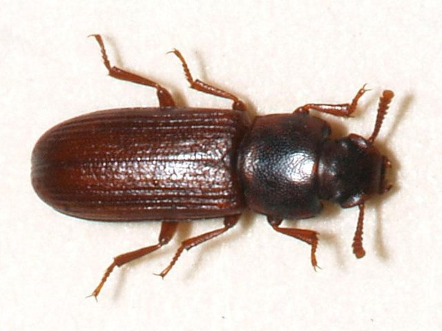 A biscuit beetle, sometimes known as a flour beetle