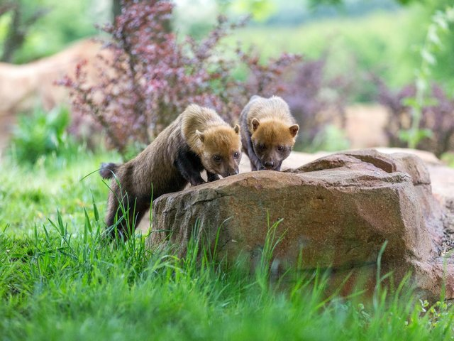 Woburn Safari Park welcomes new bush dogs to the family