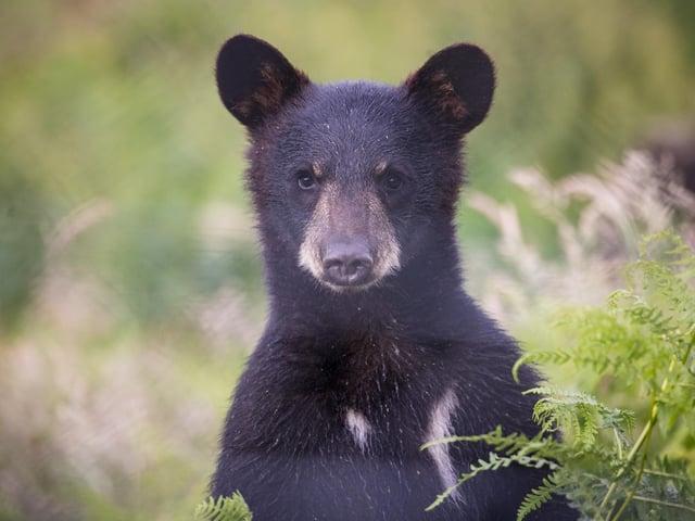 Denver - the newest North American black bear cub at Woburn Safari Park